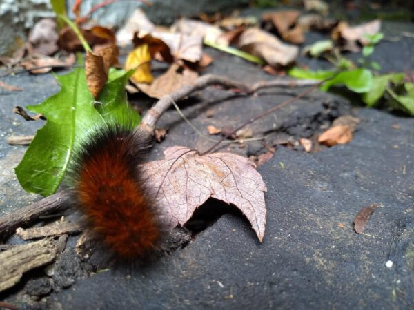 wooly bear caterpillar on leaf. Showing them bugs is one way how to teach your child about nature.